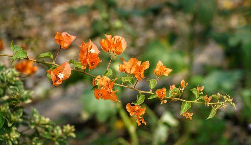 bougainvillea flower orange
