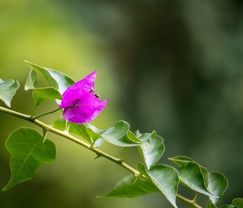 bougainvillea  triple flower  blossom