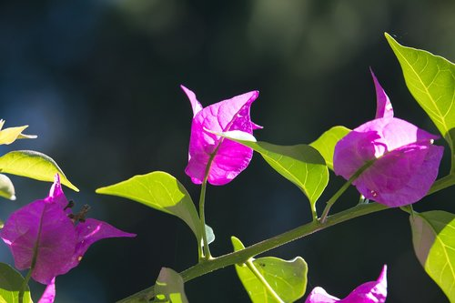 bougainvillea  triple flower  pink