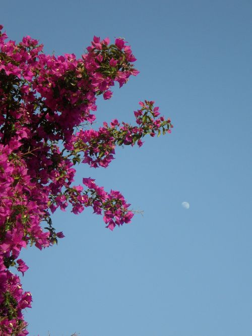 bougainvillea sky moon