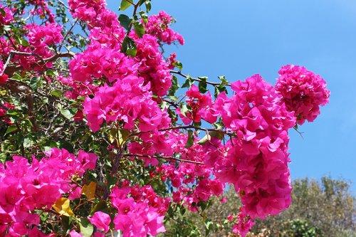 bougainvillea  plant  greece