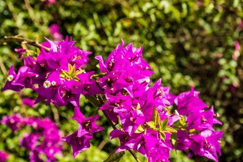 bougainvillea  bougainville  flower