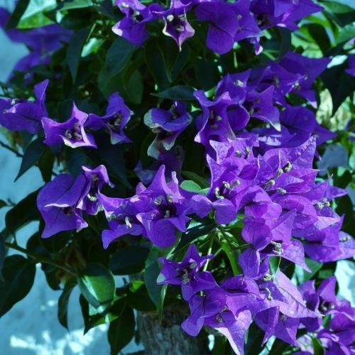 bougainvillea purple flower