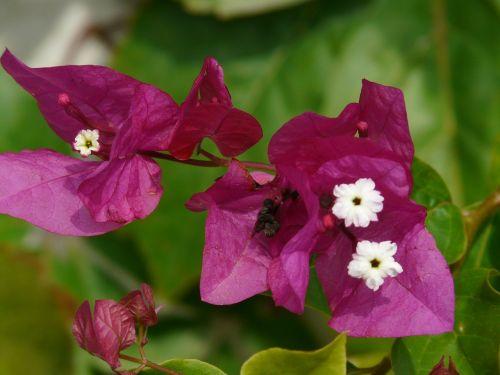 bougainvillea flower blossom