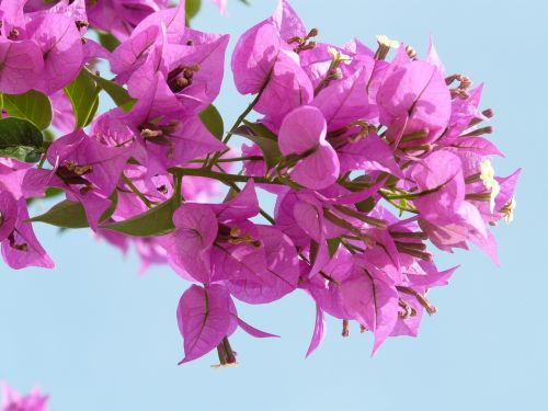 bougainvillea pink flower