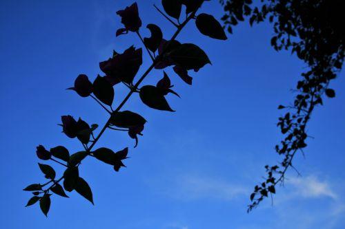 Bougainvillea Against The Sky