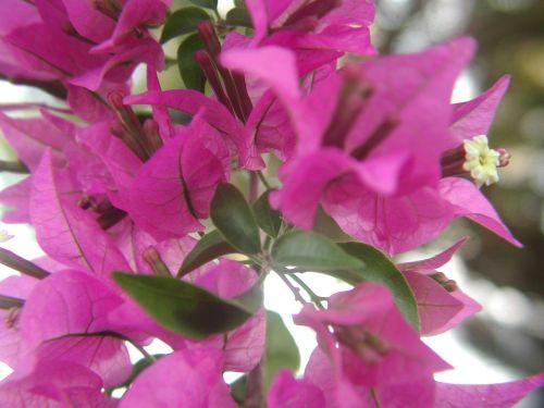 Bougainvillea Close Up