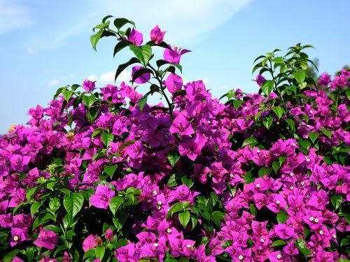 bougainvillea glabra flower lesser bougainvillea
