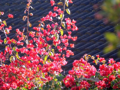 Bougainvillea Over Roof Tiles