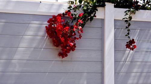 Bougainvillea Over The Fence