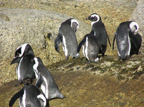 boulders bay south africa penguins