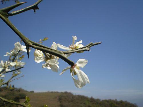 boutonnieres lemon blossom lemon tree wild