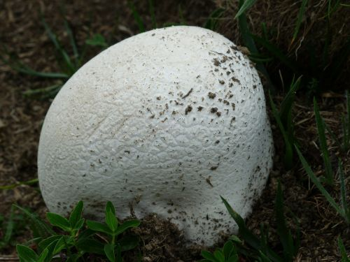 bovist mushroom white