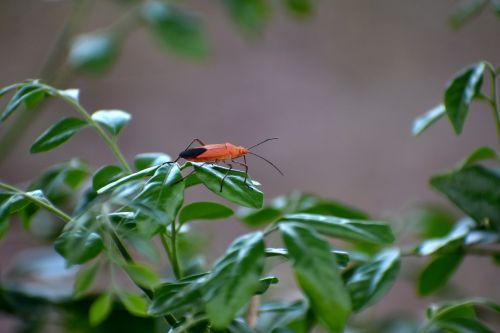 boxelder bug insect red eyes
