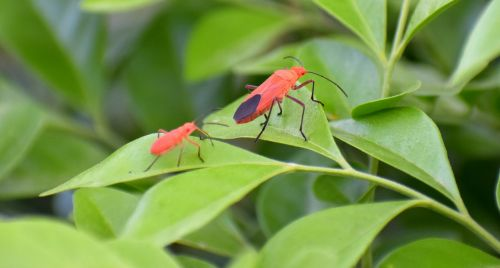 boxelder bugs insects adult