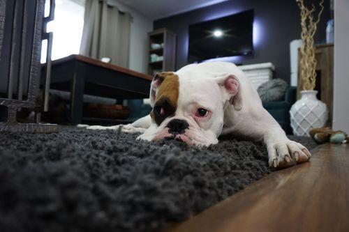 boxer dog lazy