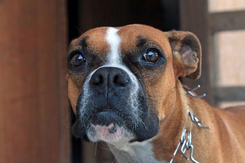 boxer dog tamed