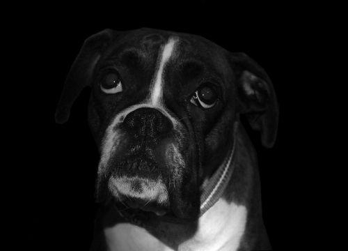 boxer dog sad
