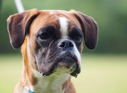 boxer german boxer dog look