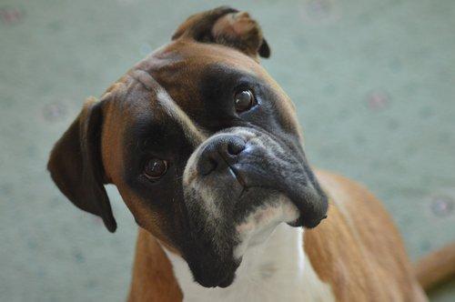 boxer  boxer dog  pet