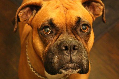 boxer purebred canine