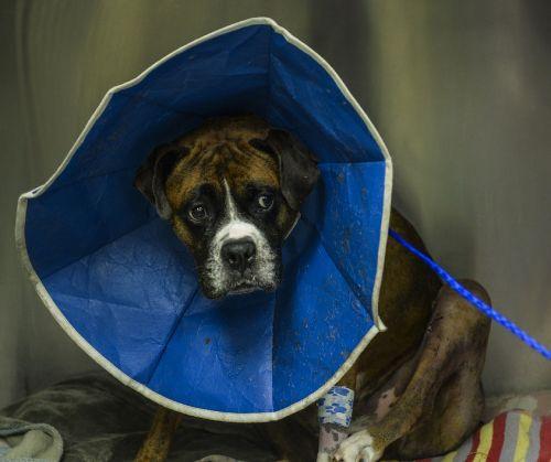 boxer dog canine