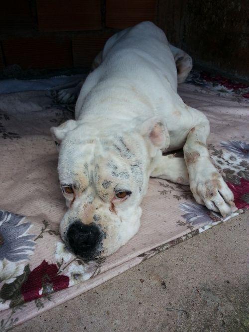 boxer dog sick dog sad dog