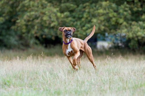 boxer dog boxer dog