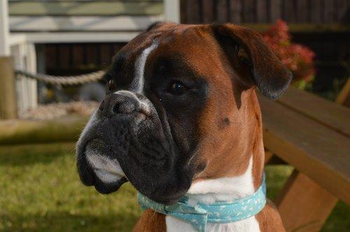 boxer dog  dog  pet