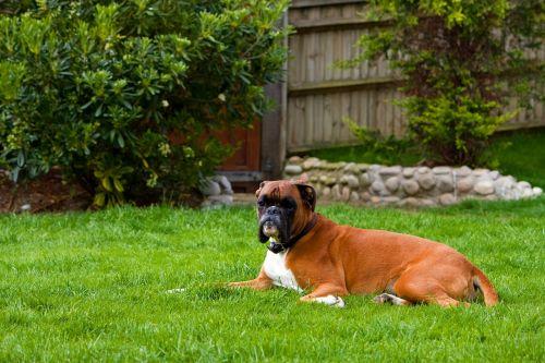 boxer dog canine pet