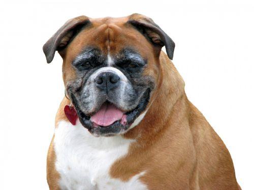 Boxer Dog On White