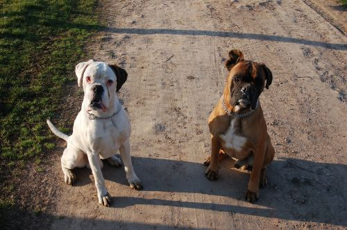 boxers dogs attention