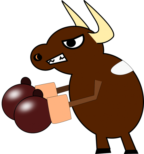 boxing cow bull