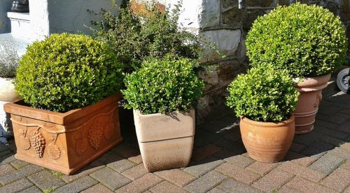 boxwood buxus book