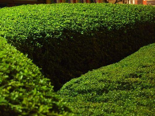 boxwood garden size
