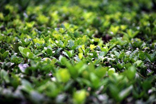 krūmas, dėžutė, medis, krūmas, lapija, lapai, visžalis, buxus, bukmedžio krūmas