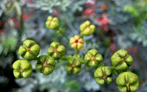 Boxy Seedpods