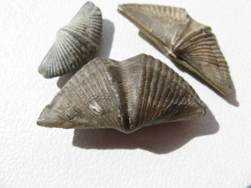 brachiopods mussels brachiopoda