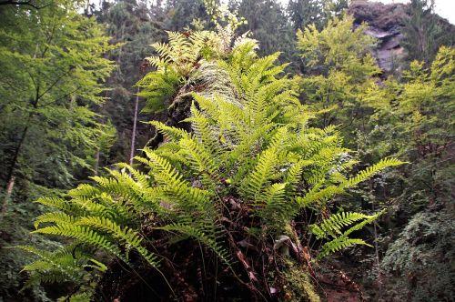 bracken ferns nature