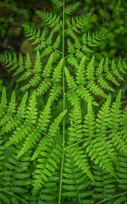 bracken  plants  nature