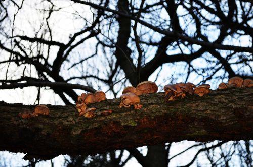 Bracket Fungus