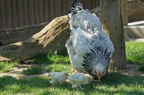 brahama chicken hen