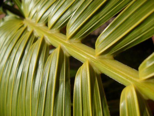 braid of palm tree