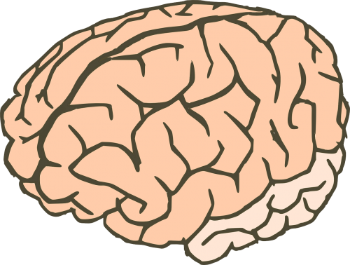brain knowledge anatomy
