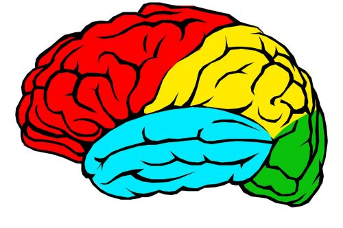 brain lobes colour