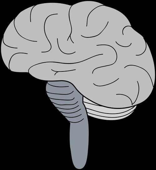 brain  cerebrum  brainstem