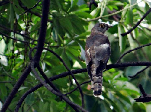 brainfever bird common hawk-cuckoo cuckoo