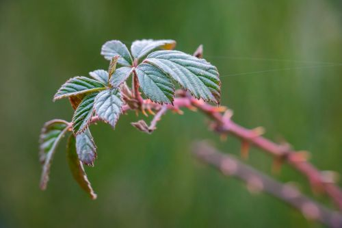 bramble leaves bush