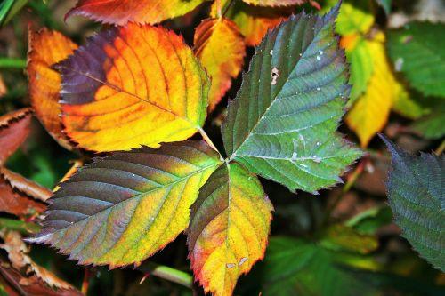 bramble leaves serrated