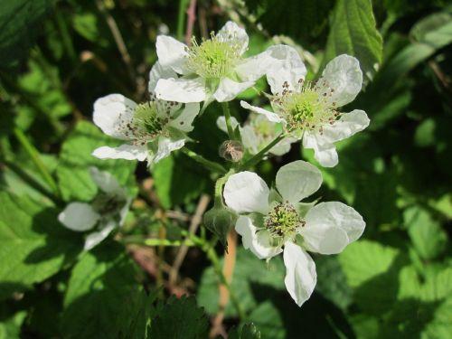 bramble blackberry shrub